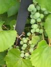Grapse